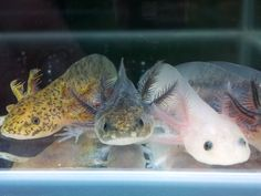 -) Axolotl / Mexican Walking Fish 3 different colors (please See photo) There ready to go to there new homes now :-) Collection only: e Axolotl Cute, Axolotl Tank, Beautiful Fish, Animals Beautiful, Baby Animals, Cute Animals, Aquarium Fish Tank, Reptiles And Amphibians, Freshwater Aquarium