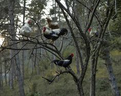 """onceuponawildflower: """"fishstickmonkey: """" from """"Notes For An Epilogue"""" Tamas Dezso """" For some reason chickens in trees is weird to me. Northern Island, San Francisco, Unique Photo, Photojournalism, Romania, Art Photography, Artsy, Marvel, Fine Art"""