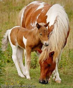 wild ponies of mount rogers | Mt. Rogers, Va - Wild Ponies