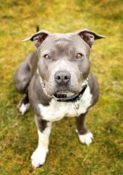 Mika is an adoptable Pit Bull Terrier Dog in Sherwood, OR.