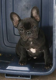 frenchie in a bin... french-bulldogs