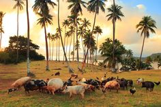 Did you ever wonder where those pigs came from that sometimes wander around on the lawn? Here is a photo from our plantation at the other end of the island to share with your friends. Just another reason to explore our island paradise.  | Fiji | Matangi | Matagi | Plantation | Hiking | Pigs | Chickens
