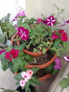 Petunias & playera flowers, a tropical and Caribbean plants; easy to take of it...try some.