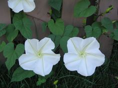 Ipomoea alba -- A pair of Moon-flowers newly bloomed