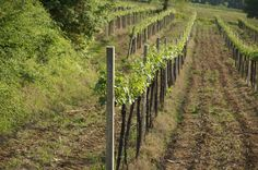a row of vines