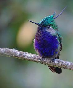 Foto beija-flor-de-topete (Stephanoxis lalandi) por Aisse Gaertner | Wiki Aves - A Enciclopédia das Aves do Brasil