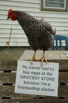 'Chicken shaming' is now a thing... We've had dog shaming, and even jovial child shaming, but now its time for the chickens to feel the heat… but not in the oven.
