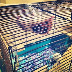 """my hamster, Sandy, climbing on the """"roof"""" of her cage Hamsters, Cage, Climbing, Adventure, Photo And Video, Instagram, Mountaineering, Adventure Movies, Adventure Books"""