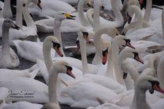 Swan Gathering, Icelandic Swans, Swan Photography, Swan Prints, Wall Art, Wildlife Photography, Animal Photography, Wall Decor