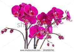 Closeup of purple orchids over white background. by eZeePics Studio, via Shutterstock