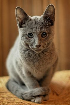 [Feline 101] Russian Blue Kitten