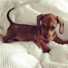 Read up on what to expect once you bring home your Dachshund puppy.