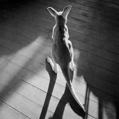 Kleines Känguru und Schatten Fotografie-Druck von Horace Bristol bei AllPosters.de