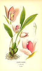 Orchid (Lycaste skinneri)  Guetemala