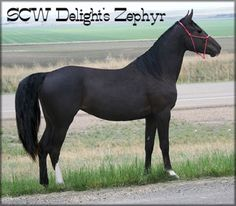 SOLD - SCW DELIGHT'S ZEPHYR TWHBEA #21000608 (DELIGHT'S MIDNIGHT LEGEND x ZEPHYR DAKOTA BREEZE) Black (DNA-tested) Tennessee Walking Horse mare, with an off hind stocking, inside off fore sock, outside off fore fetlock, and a blaze. Should mature at 15.2 hands. Foaled 04/17/2010. Priced at $3000 Horse is located in Montana. Overseas transport can be arranged.  http://www.walkerswest.com/Stalls/SCWDelightsZephyr.htm