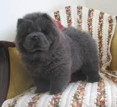 This looks like my blue chow I called Beary