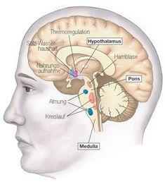 Physiologie: Hirnstamm und Zwischenhirn