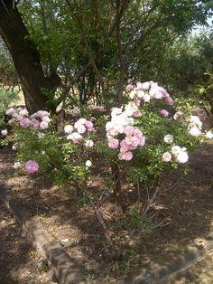 pretty roses Pretty Roses, Plants, Planters, Plant, Planting