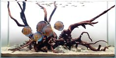 discus in amazon | Adventures in Aquascaping Archives - TFH Magazine BlogAdventures in ...