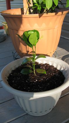 dwarf orange tree, just a baby right now!