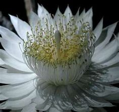 Nightblooming Cereus - @Paula Marie McCloskey do you still have yours??? i had no idea the flower looks like this!!!!