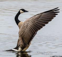 Canada Goose wings spread