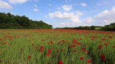 J'ai eu la surprise de découvrir, au sein d'un petit vallon, en Charente Maritime, ce champ couvert de coquelicots, une mer rouge qui ondule au gré du vent. Fantastique!