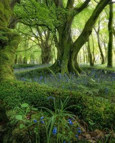 Bluebells and Forest Beauty in Scotland Magical Forest, Tree Forest, Beautiful World, Beautiful Places, Enchanted Tree, Enchanted Forest Scotland, Nymph, Amazing Nature, Beautiful Landscapes