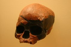 1024px-Niah_Cave_skull-r._Homo_Sapiens_45,000_to_39,000_Years_Old.jpg (1024×680) - Hall of Human Origins, the Smithsonian National Museum of Natural History, USA. Auteur : Ryan Somma, 1980.
