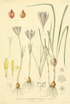 Boerenkrokus - Crocus tommasinianusAfmeting: 10 tot 20 cm.  Levensduur: Overblijvend. Geofyt (winterknoppen onder de grond).  Bloeimaanden: Februari en maart.   Wortels: Een knol, die elk jaar extra knolletjes vormt.   Stengels: Een rechtopstaande bloeistengel.   Bladeren: De bladeren zijn 2-4 mm breed, wat smaller dan die van Bonte krokus.   Bloemen: Tweeslachtig (een bloem met zowel mannelijke als vrouwelijke geslachtsorganen). De langwerpige tot elliptische bloemdekbladen hebben…