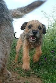 Image result for border terrier