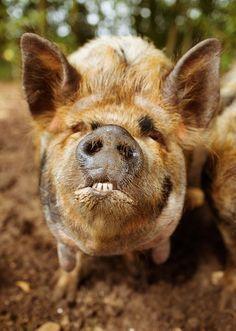 #pig with an underbite / house crush amanda brooks
