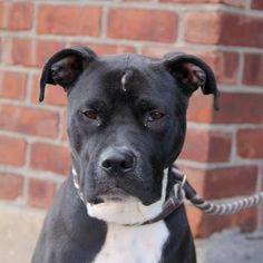 [[SOS]] TO BE DESTROYED - SATURDAY - 1/12/13 [[DIESEL]]  Brooklyn Center - P    My name is DIESEL. My Animal ID # is A0953906.  I am a neutered male black pit bull mix. The shelter thinks I am about 2 YEARS old.