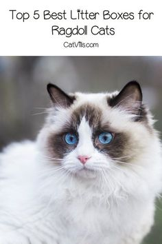 If you're curious about the best litter boxes for Ragdoll cats, let me help you out. Here are my top five picks, along with complete reviews! Ragdoll Cats, Cats And Kittens, Best Litter Box, Cleaning Litter Box, Clumping Cat Litter, Wood Cat, Outdoor Cats, Small Cat, Cool Pets