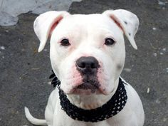TO BE DESTROYED 3/13/14 Manhattan Center -P  My name is LILY. My Animal ID # is A0992972. I am a female white and black pit bull mix. The shelter thinks I am about 3 YEARS old.  I came in the shelter as a STRAY on 03/02/2014 from NY 11691, owner surrender reason stated was STRAY. https://www.facebook.com/photo.php?fbid=767694663243415&set=a.611290788883804.1073741851.152876678058553&type=3&theater