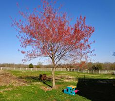 beautiful maple tree in the spring