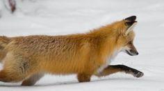 Neve, che spettacolo nel parco Yellowstone imbiancato