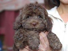 Chocolate Cockapoo | Chocolate-coloured Female Cockapoo - Tap the pin for the most adorable pawtastic fur baby apparel! You'll love the dog clothes and cat clothes! <3
