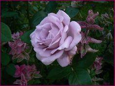 Amazing Mainzer Fastnacht bl ht sie nochmal Seite Rund um die Rose