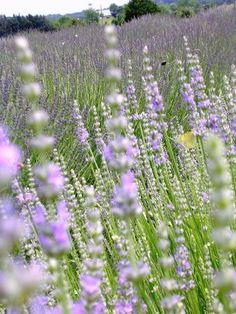 ahhhh a lavender farm