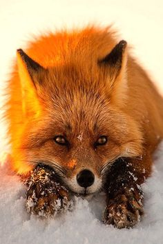 As red as fire, With a fuzzy tale. He likes long walks. It is … A FOX.