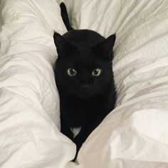 """Black Cat Appreciation Post chibiraccoon: """" vicloud: """" """" this is your fault. I saw this post and thought it was you on my dash. I Love Cats, Crazy Cats, Cute Cats, Cute Black Cats, Funny Cats, Animals And Pets, Baby Animals, Cute Animals, Photo Chat"""