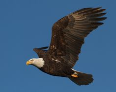 American Bald Eagle Flying Close