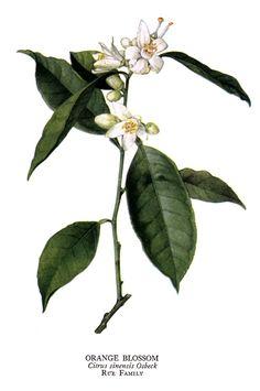Orange blossom, Citrus sinensis, loving aroma <3