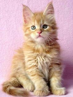 Top 20 Funny animals about Cats Animals And Pets, Baby Animals, Cute Animals, Kittens And Puppies, Cats And Kittens, Kittens Cutest, Cute Cats, Maine Coon Kittens, Serval