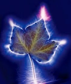 Ivy leaf kirlian photography by Fullspectrum How To See Aura, Kirlian Photography, Secret Life Of Plants, Reiki Energy, Auras, Discover Yourself, This Or That Questions, Peripheral Vision, Sensitivity