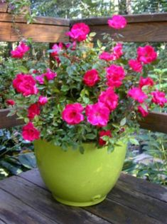 Knock out roses in containers!
