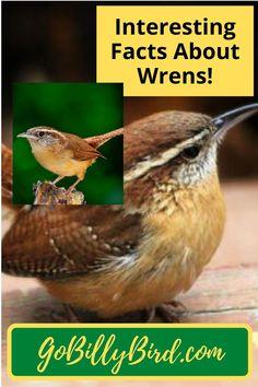 550 Wrens Ideas In 2021 Beautiful Birds Wren Pet Birds