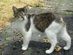 This is the 5th neighborhood stray we have tamed. He is called Manxy, because we are so good at names. cute cat