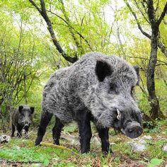 Wild Boar, Golestan National Park, Golestan Province, Iran (Persian: گراز -پارک ملی گلستان - استان گلستان) Photo by Farshad Eskandari